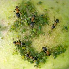 La traite des pucerons verts sur pomme