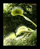La trappe a fait mouche (dionaea muscipula) ; Gobe-mouches