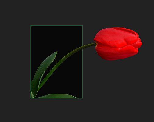 La tulipe en rouge
