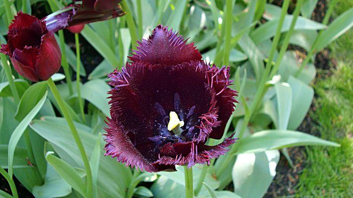 La tulipe noire, parc Keukenhof - Pays - Bas