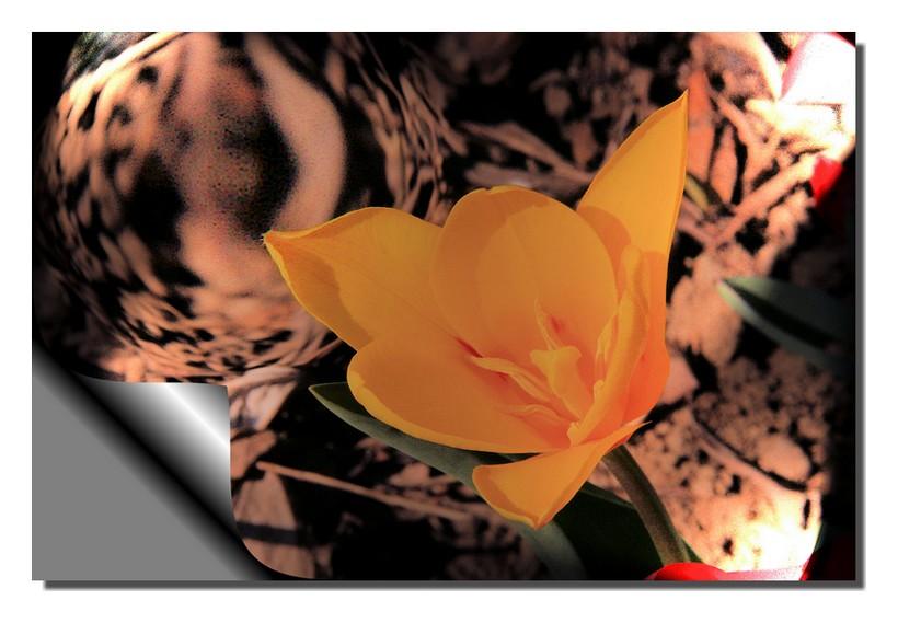 """"""" la tulipe sur scène """""""