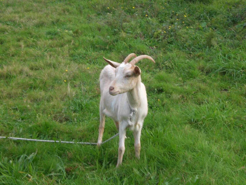 La unica cabra de outerelo (Solita)