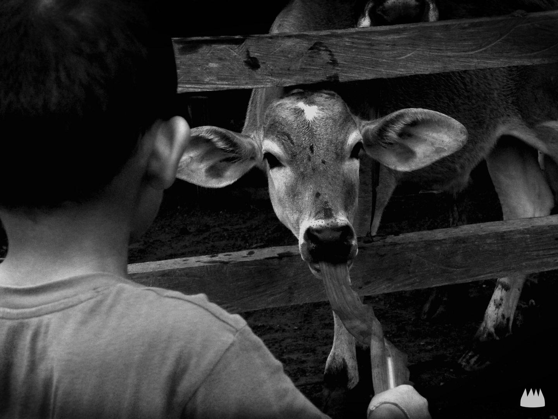 la vaca del niño