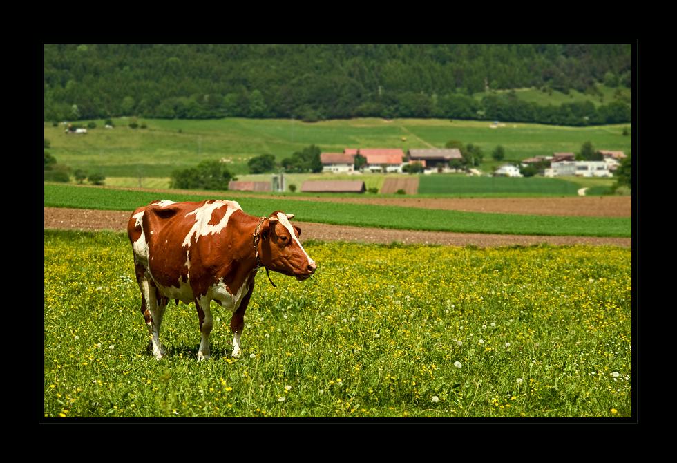 La vache, die Kuh ;-)
