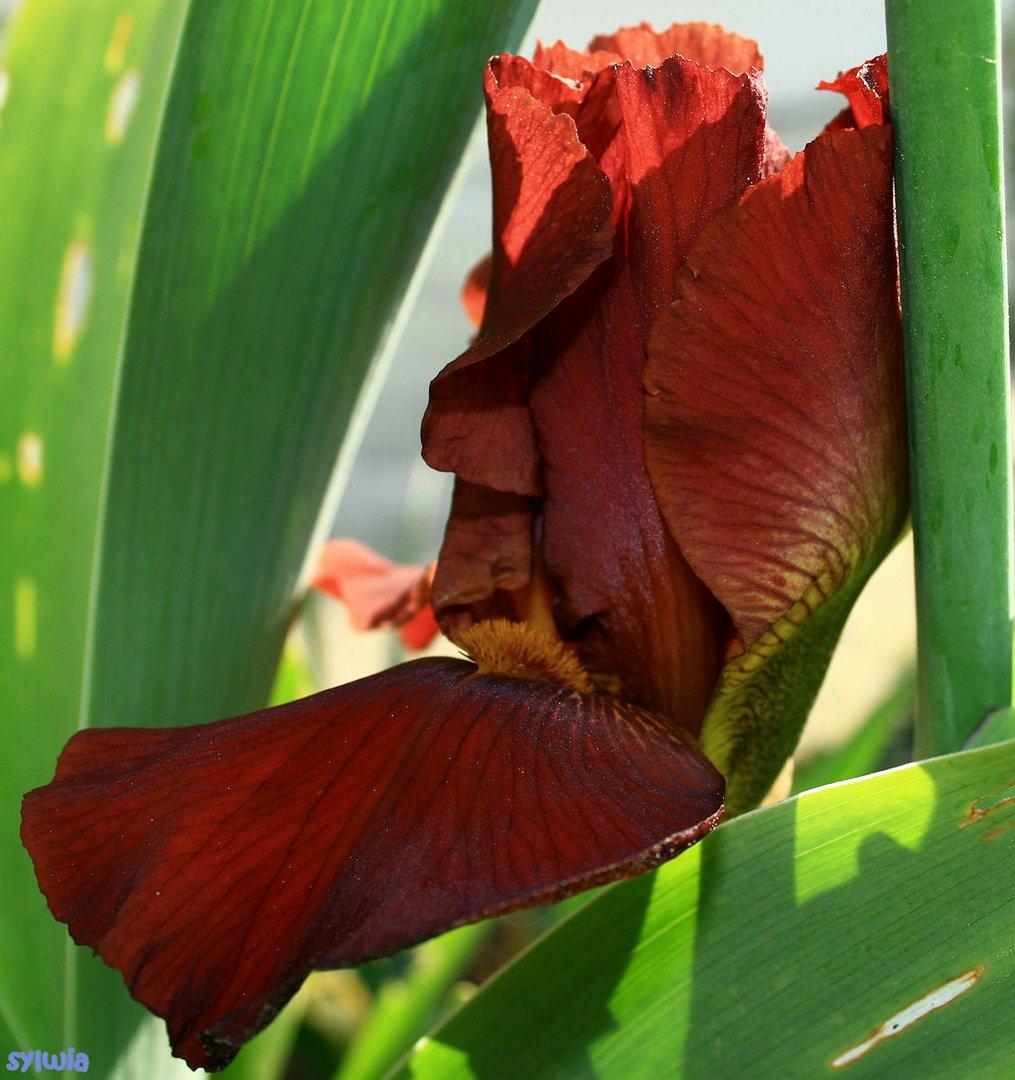 la vie d'un iris