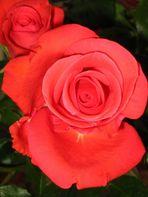 """""""La vie en Rose...."""""""