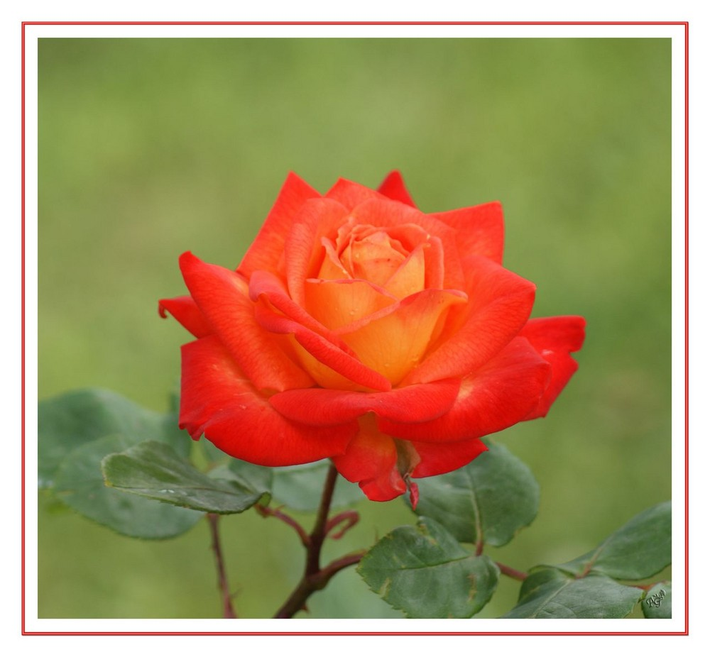 la vie en rose.. dans mon jardin