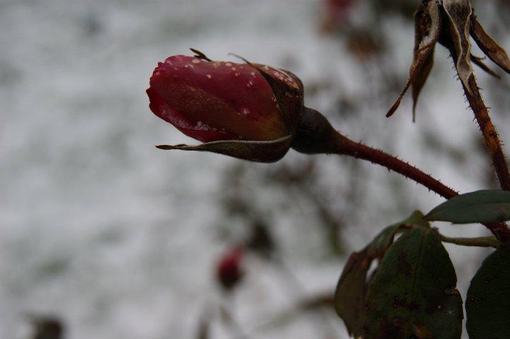 La vie est une rose dont chaque pétale est une illusion et chaque épine une réalité.