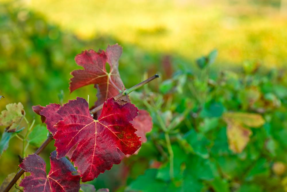La vigne en couleurs