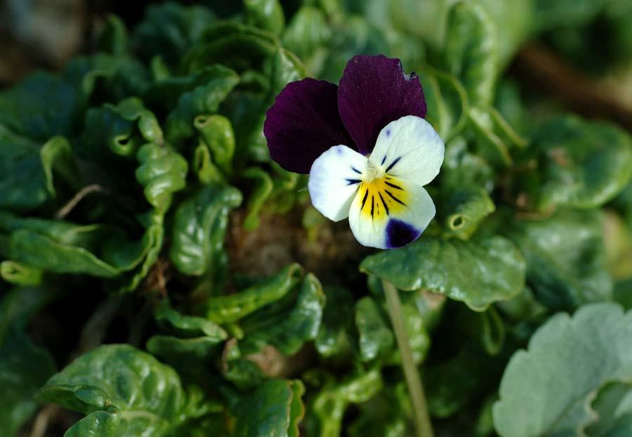 La violetta bicolore