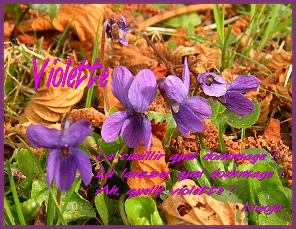 La violette inspire le poète ! Ah, quelle violette !