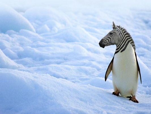 la zebra pinguino