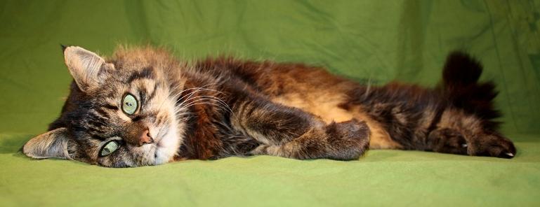 Laange Katze