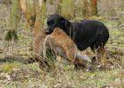 Labbi in der Jagdausbildung