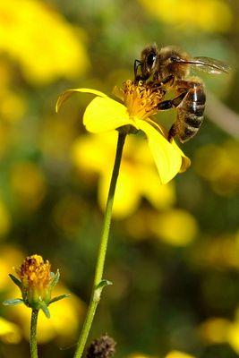 L'abeille butine...