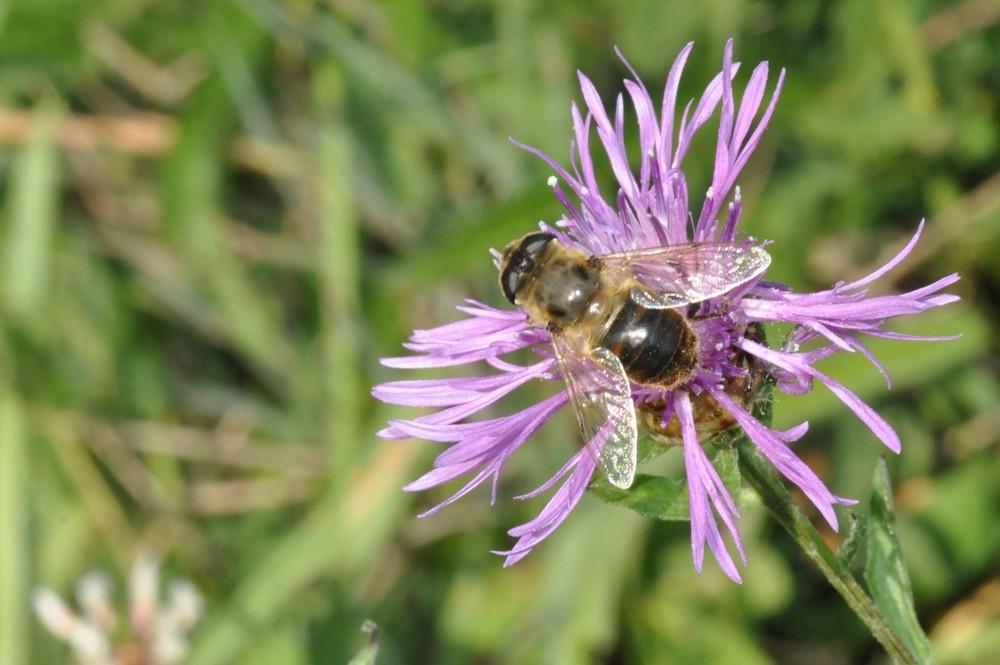 l'abeille coule sur une fleur