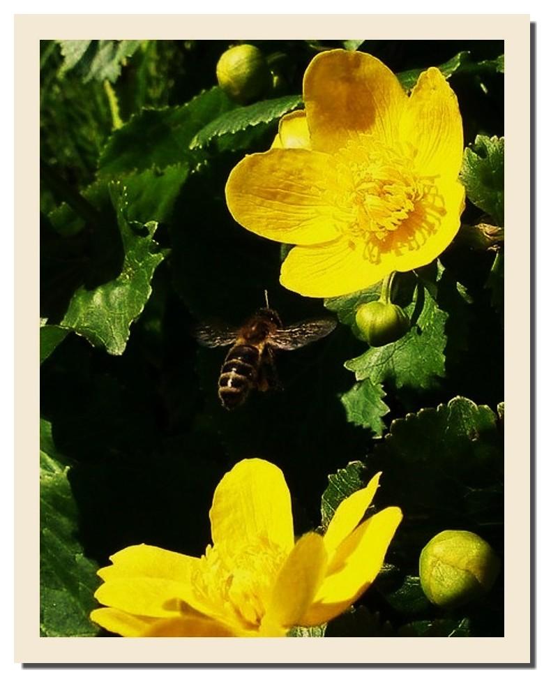 l'abeille et la belle