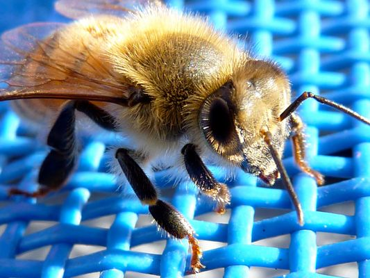 L'abeille se repose