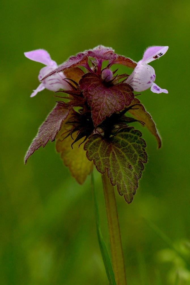 Labiata - Lamium purpureum