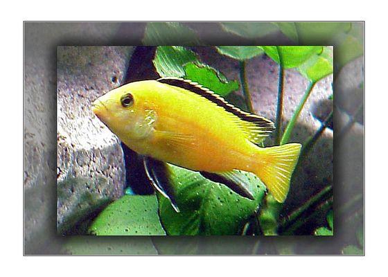 Labidochromis yellow - Buntbarsch