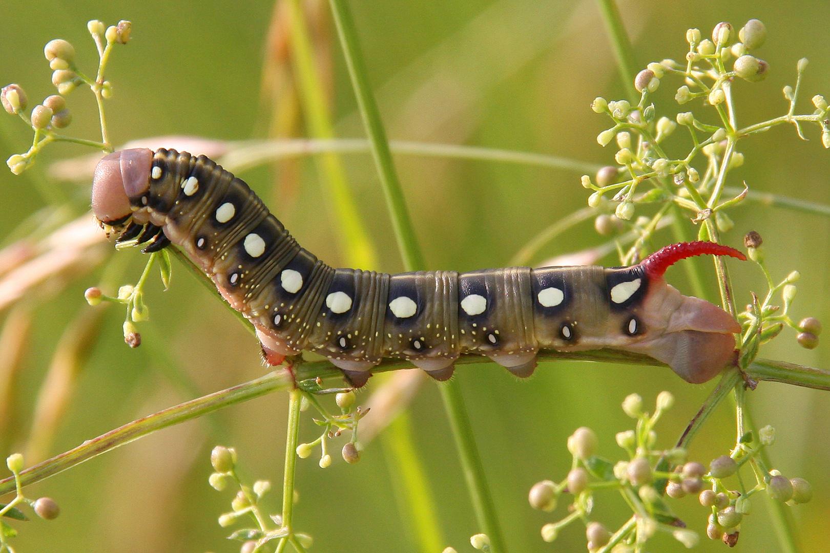 Labkrautschwärmer oder Bedstraw Hawk-Moth or Gallium Sphinx (Hyles gallii)