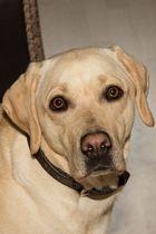 Labrador!!