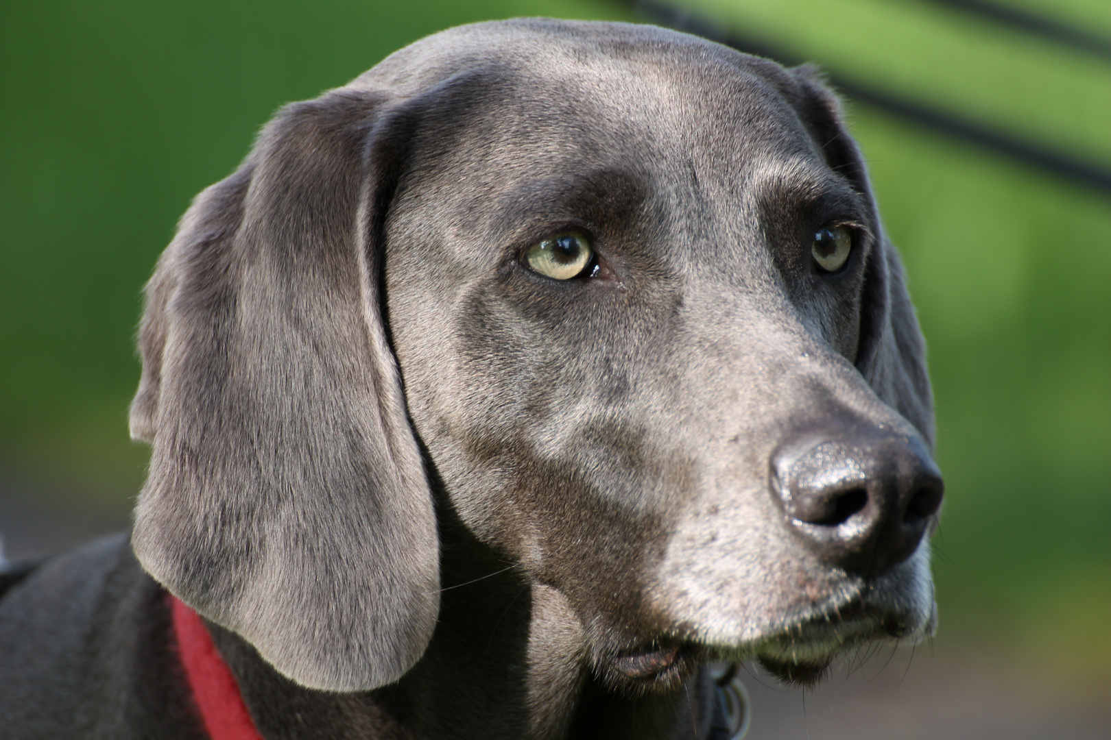 Labrador?