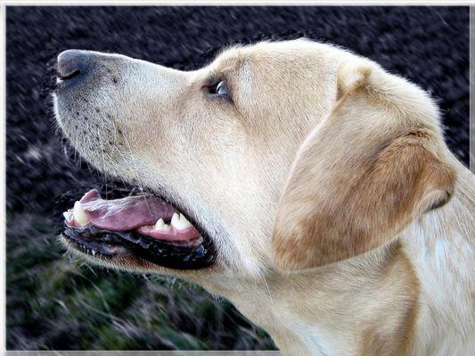 Labrador :-)