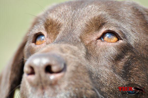 Labrador Augen im Detail