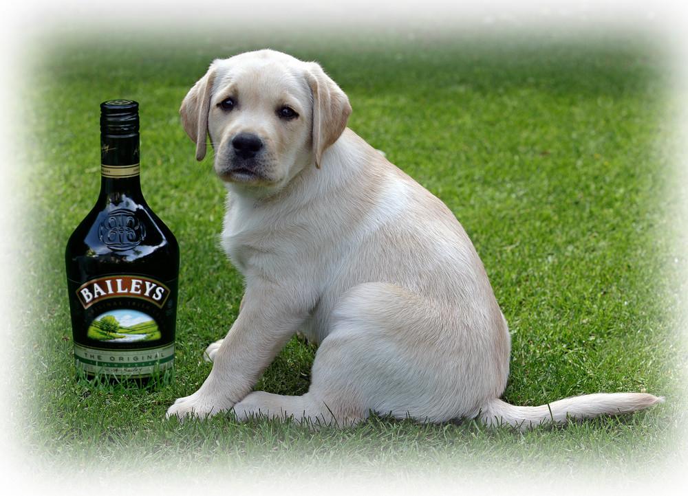 Labrador Bailey