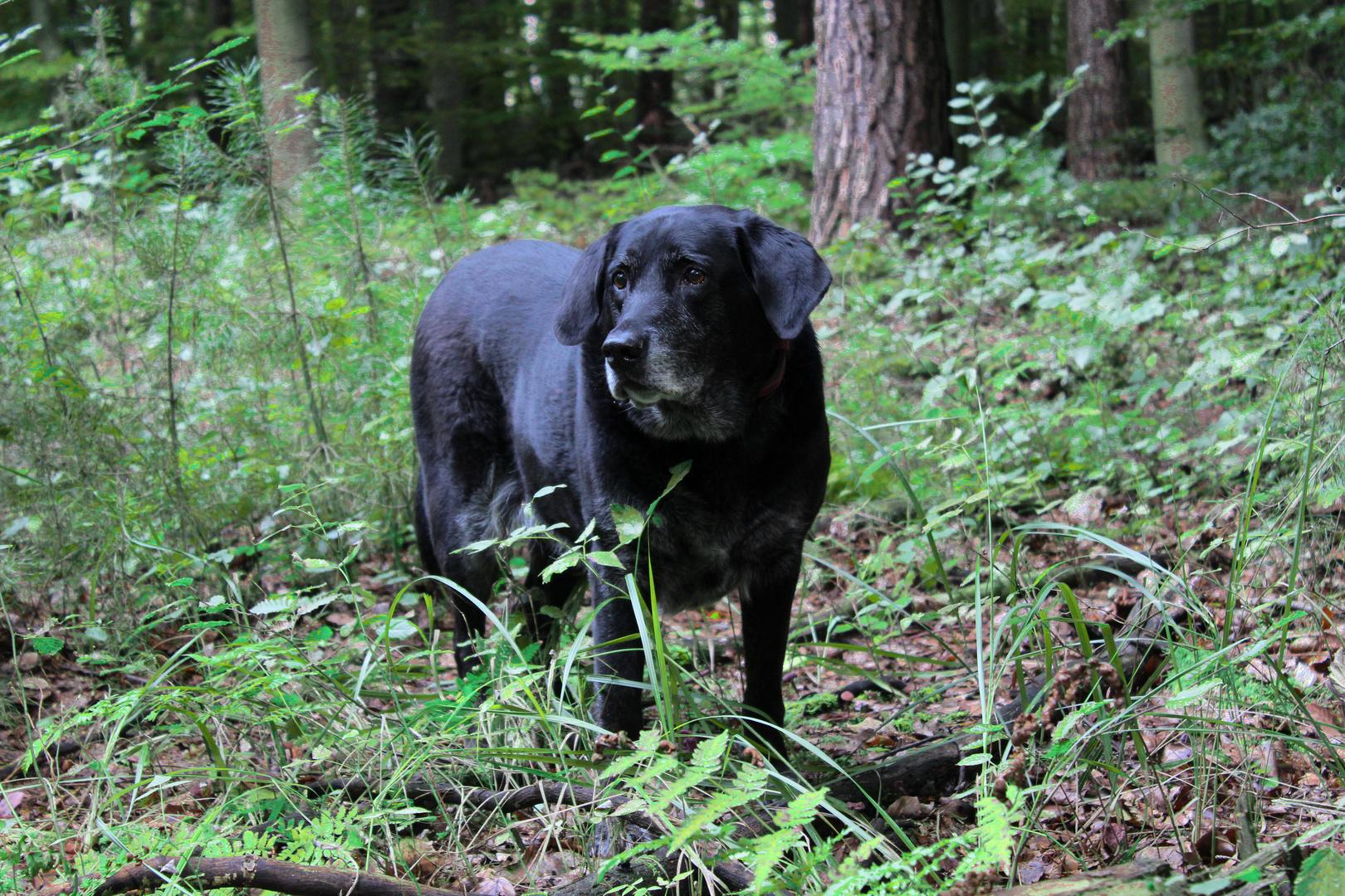 Labrador beim Waldspaziergang
