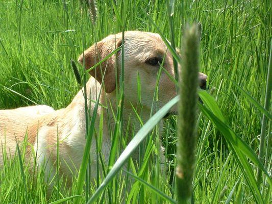 Labrador Ben im Frühling