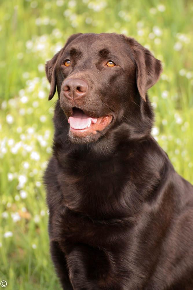 labrador braun foto  bild  tiere haustiere hunde