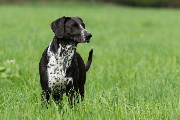 Labrador Dalmatiner Mischling