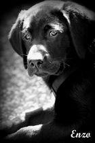 """Labrador """"Enzo"""""""