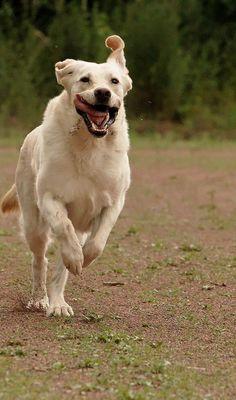 Labrador - er sabbert immer 01