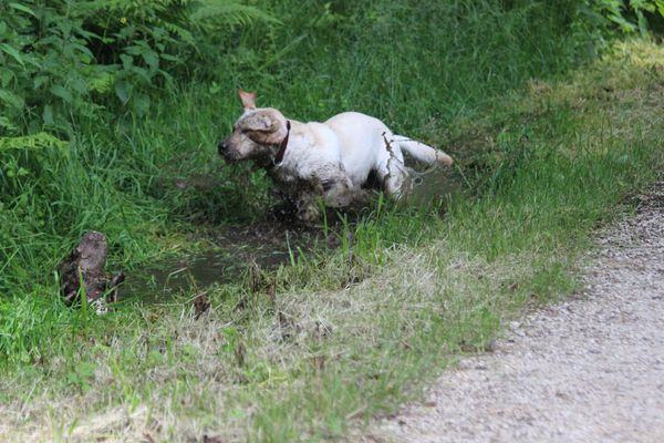 Labrador im Schlammbad