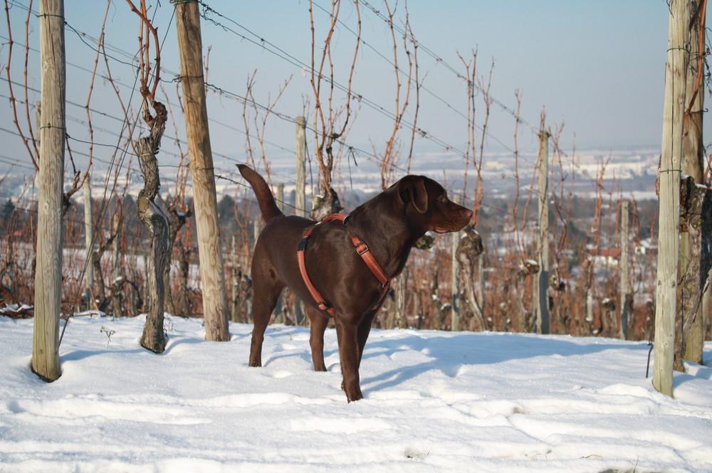 Labrador im weinberg