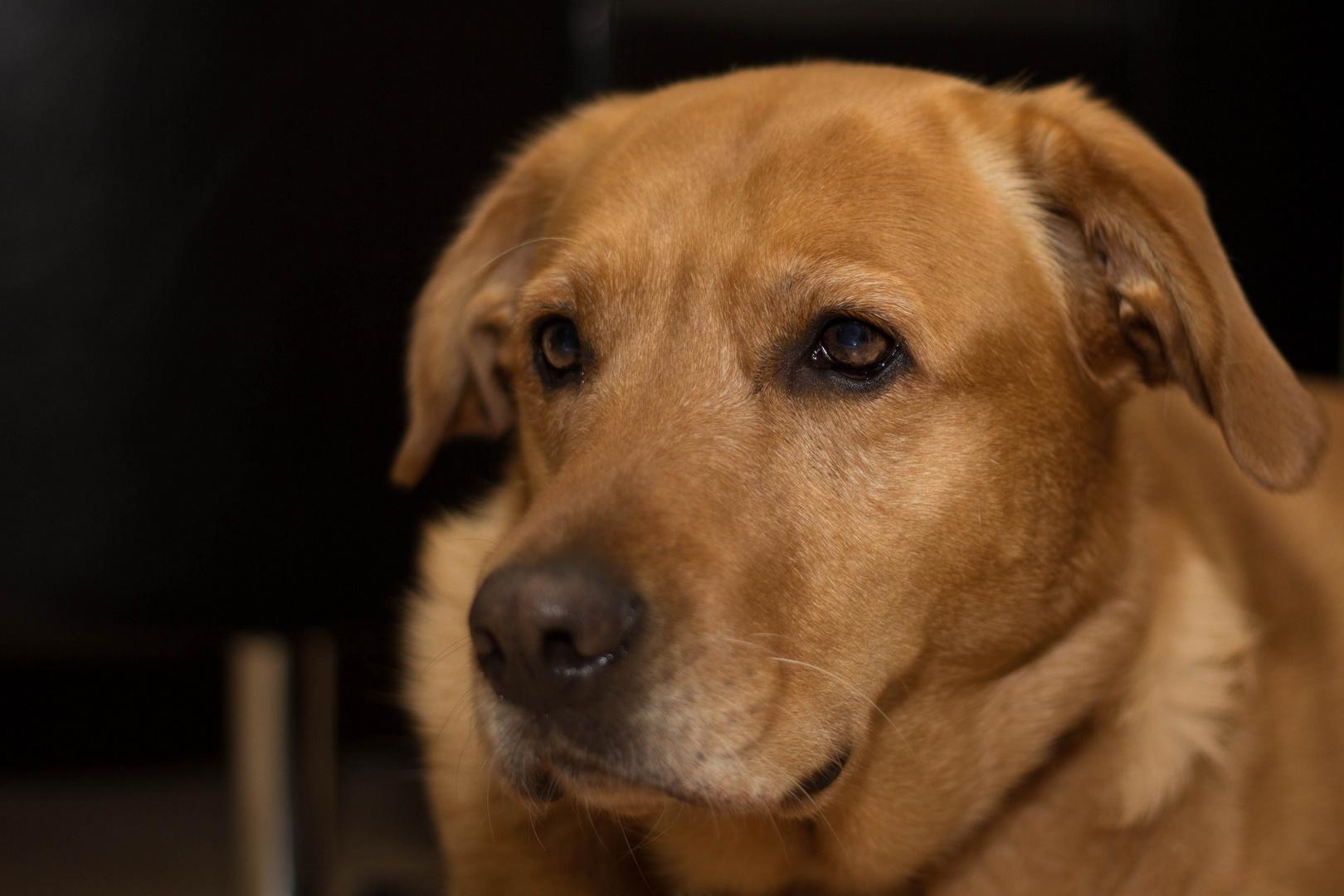 Labrador Lizzy