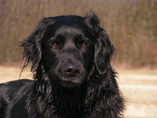 Labrador Mix Murphy
