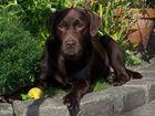 Labrador Schokolade braun