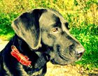Labrador vs. Herbstsonne
