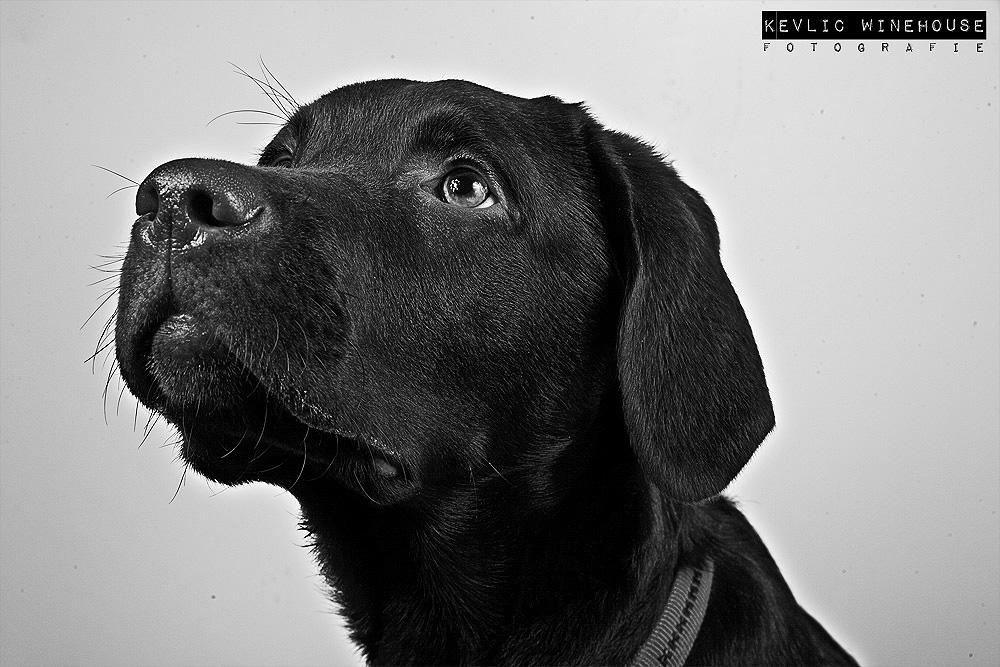 Labrador Whiskey