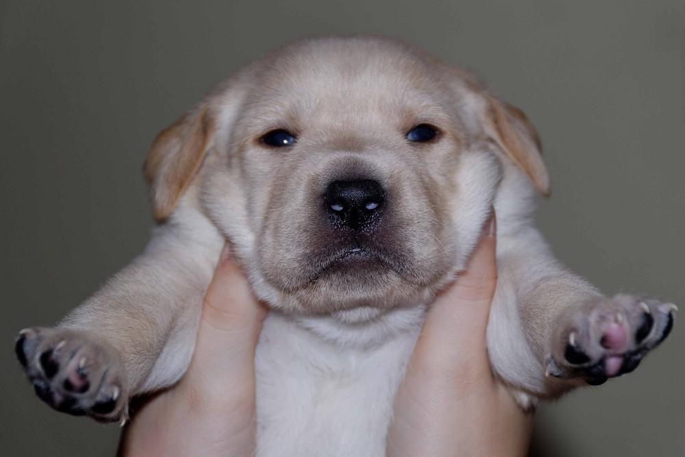 Labrador Willy