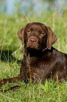 Labradorhündin Anka