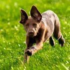 Labradorhündin Leila