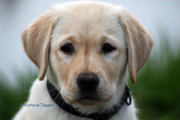 Labradorwelpe im Portrait