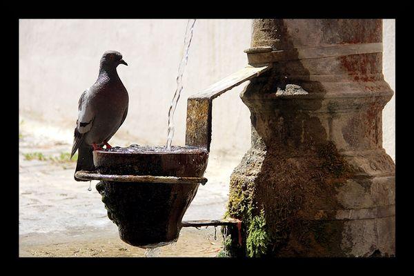 L'abreuvoir au pigeon