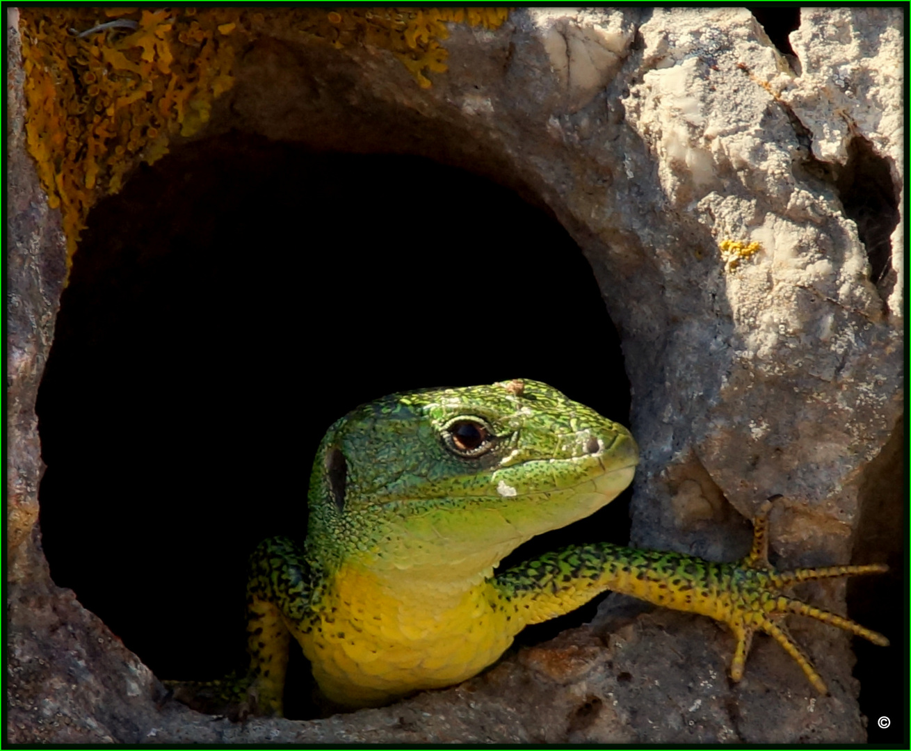 Lacerta Viridis - Die Smaragdeidechse