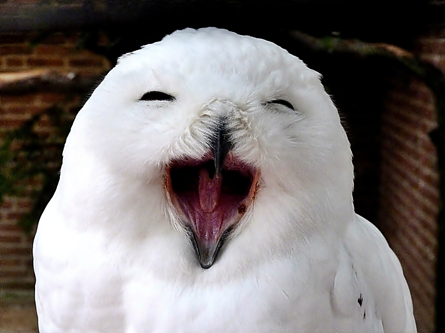 *Lachende* Schnee-Eule . . .